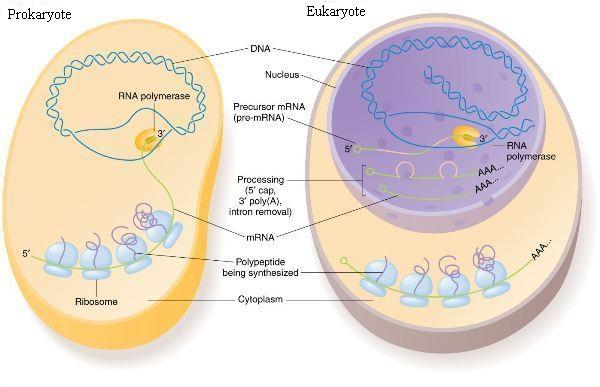 Differences between Prokaryotic and Eukaryotic cells