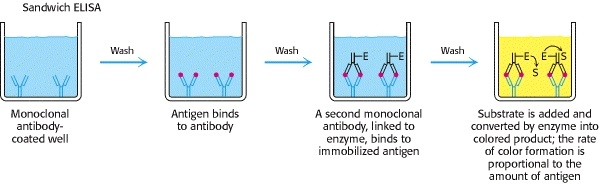 Procedure of sandwich ELISA