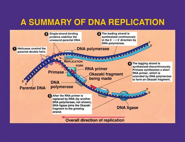 overview of dna replication. Black Bedroom Furniture Sets. Home Design Ideas