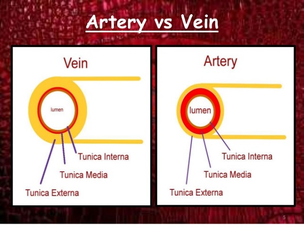 Differences Between Artery And Vein