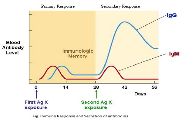 Differences Between Primary And Secondary Immune Response