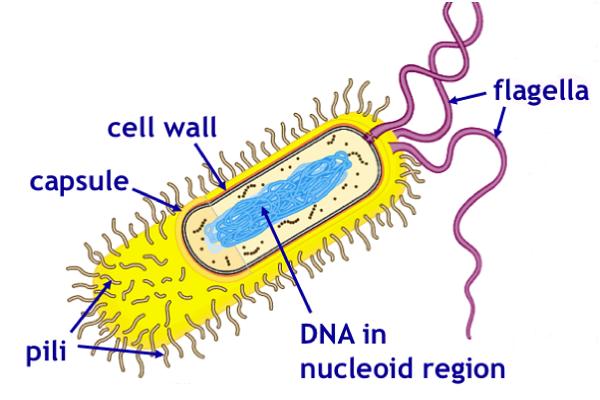 Flagella vs. Pili