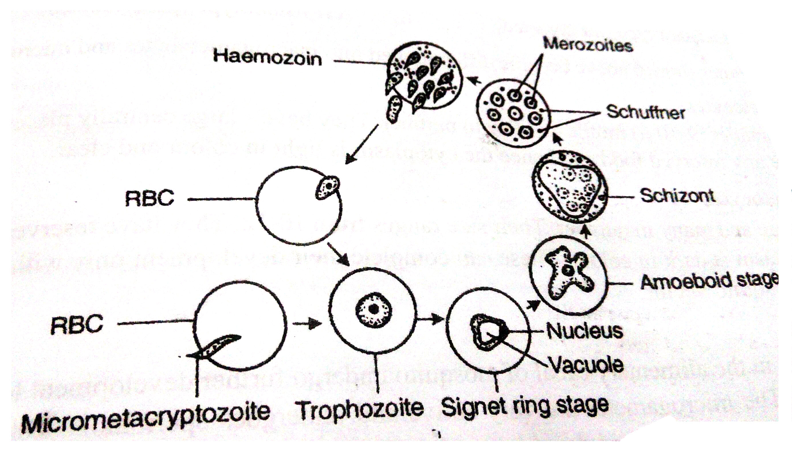 Asexual life cycle of plasmodium vivax ring