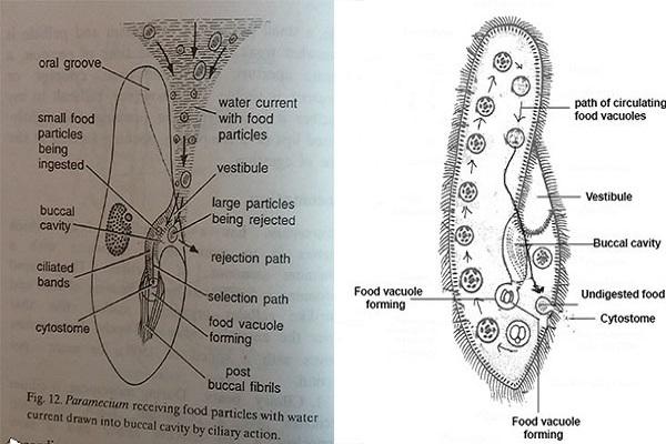 Feeding mechanism in paramecium feeding mechanism of paramecium ccuart Images