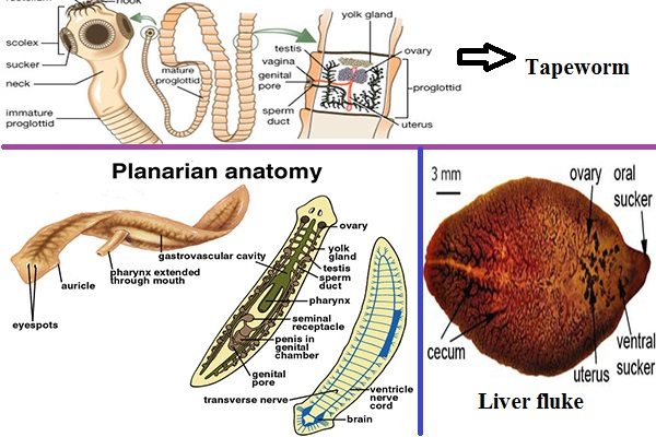 Information About Platyhelminthes