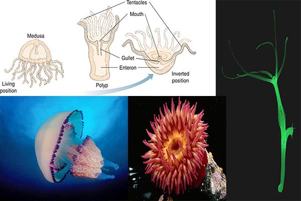 Short Description Of Phylum Coelenterata