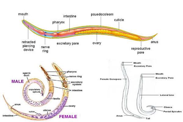 phylum aschelminthes szaporodás