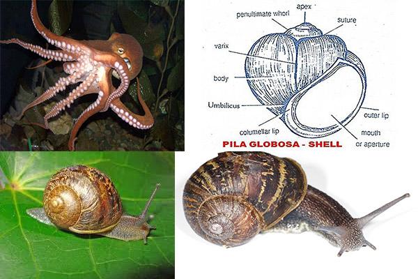 Classification of Phylum Mollusca