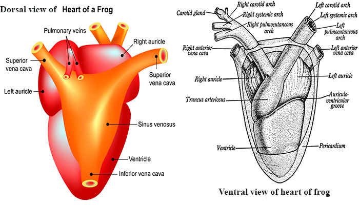 Detailed structure of frogs heart external structure of heart ccuart Image collections