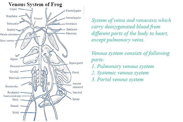 Venous System of frog venous system of frog