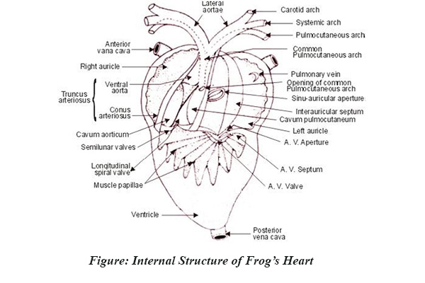 Detailed structure of frogs heart internal structure of heart of frog ccuart Images