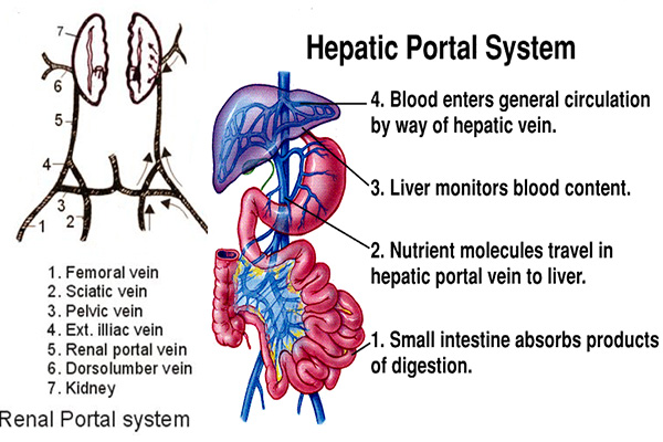 Hepatic Portal During Digestion Diagram Block And Schematic Diagrams