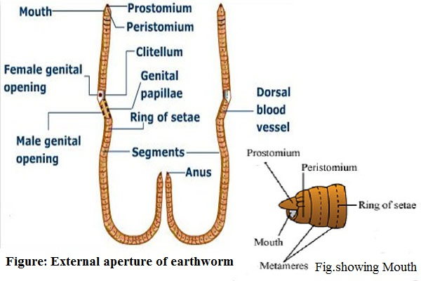 external-aperture-of-earthworm