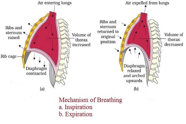 Mechanism-of-breathing