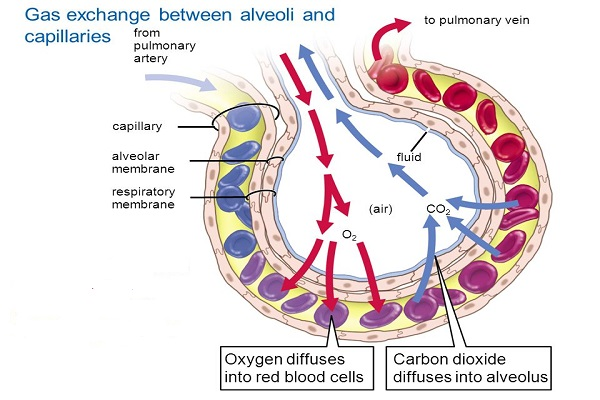 physiology-of-respiration