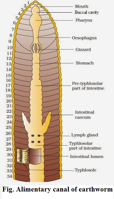 Digestive System Of Earthworm Microbiology Notes