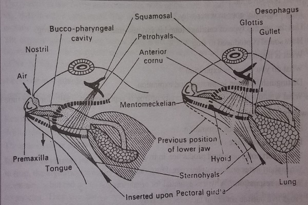 Mechanism of Breathing in frog