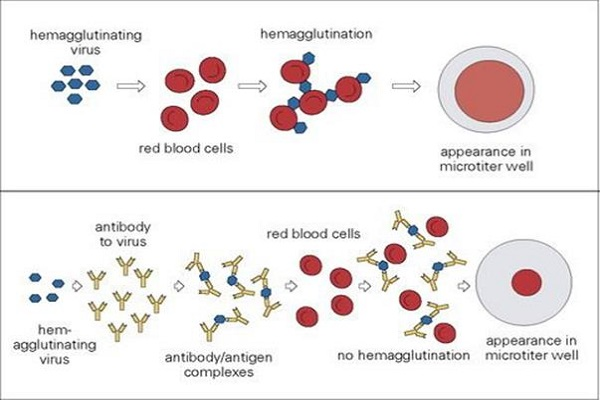 Mechanism of Haemagglutination assay