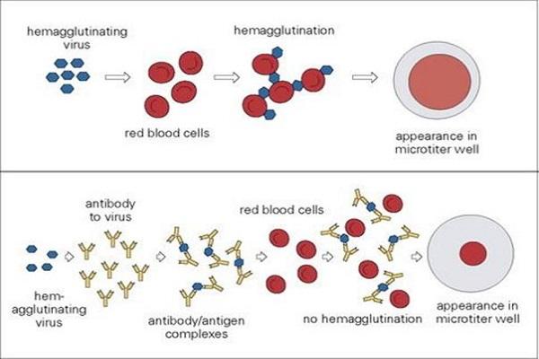 haemagglutination assay viral quantitation microbiology notes. Black Bedroom Furniture Sets. Home Design Ideas